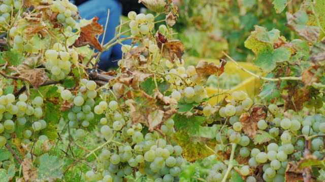 Work in the vineyard. Collect ripe bunch of white grapes video