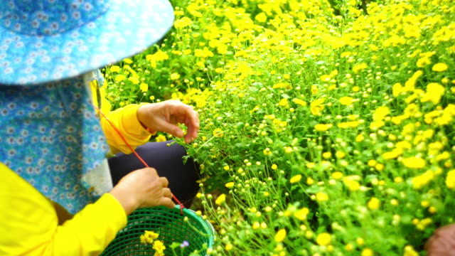 Worker are picking flowers video