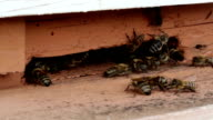 Worker bees near beehive video
