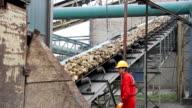 Worker controls Sugar beet on conveyor video