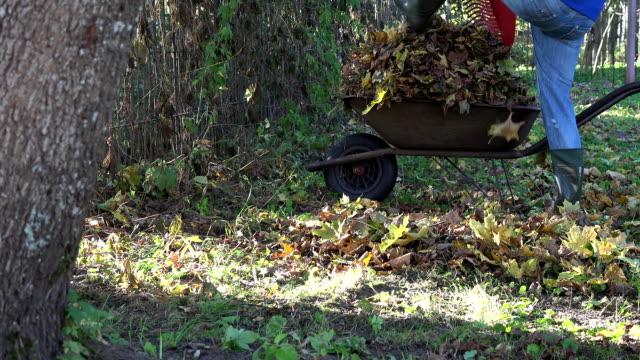 worker gather dru autumn leaves on old barrow in garden. FullHD video