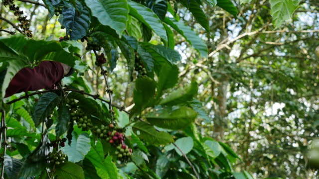 Worker Harvesting Robusta coffee. video