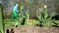 Worker man cutting lawn. Tulip flower buds in spring garden video