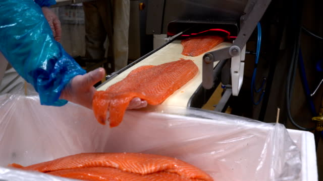 A worker puts salmon fillet on automatic feed for slicing fish in A Seafood Processing Factory video
