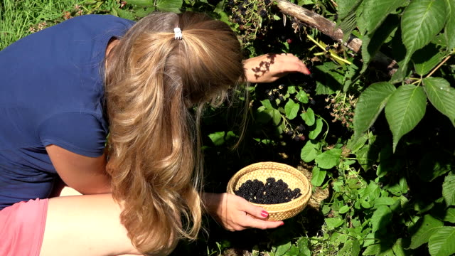 worker woman girl in shorts gather harvest fresh black berries ripen on farm plantation. FullHD video