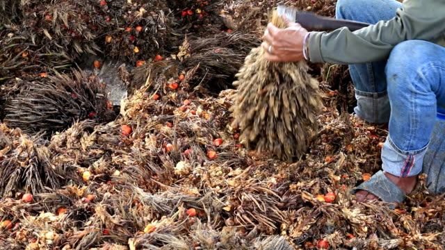 Workers chopped selected palm oil fruits. video