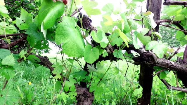 Working at vineyard on spring season video