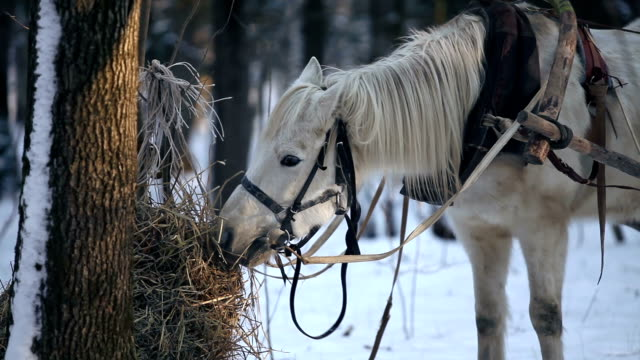 Working horse eating hay in the winter forest video