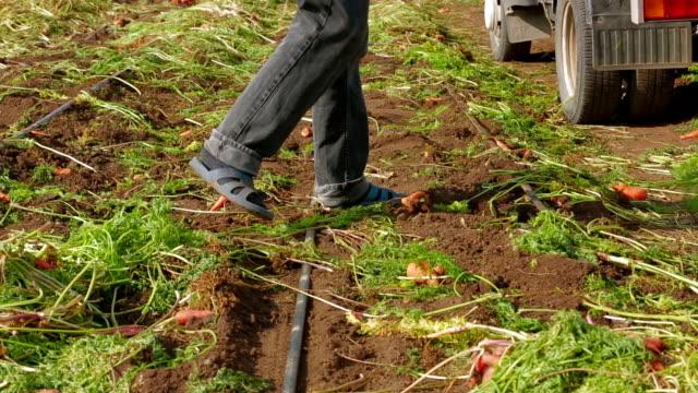 Working On Carrot Field video