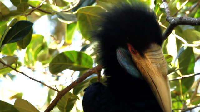 Wreathed Hornbill. video