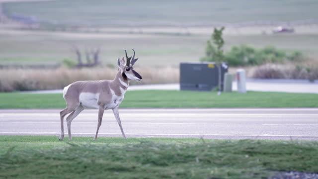 Wyoming Antelope - Pronghorn Urban video