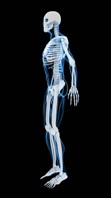 X-Ray of Human Skeleton & Muscle (HD Vertical) video