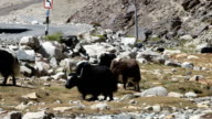 Yak are grazing in a beautiful natural video