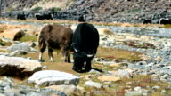 Yaks are grazing in a beautiful nature video