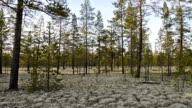 Yamal Peninsula forest tundra video