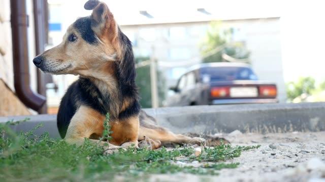 yard brown dog lying on the grass video video