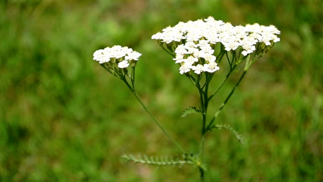 Yarrow Flower video
