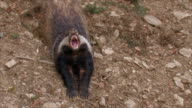 yawning badger video