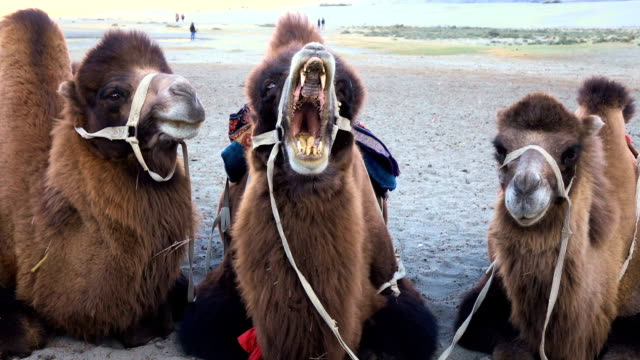 Yawning camel in a desert at Nubra Valley, Ladakh, North India video