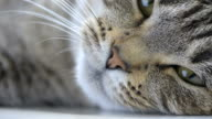 Yawning Cat video