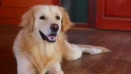 Yawning Golden Retriever Dog video