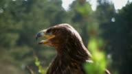 Yawning White Tailed Sea Eagle video