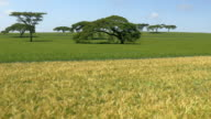 AERIAL: Yellow and green wheat field in Kenya video