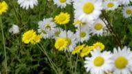 Yellow and white daisies waving 4K FS700 Odyssey 7Q video