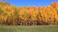 Yellow aspens on a glade in the autumn wood video