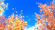 yellow autumn leaves on the tree on the blue sky background video