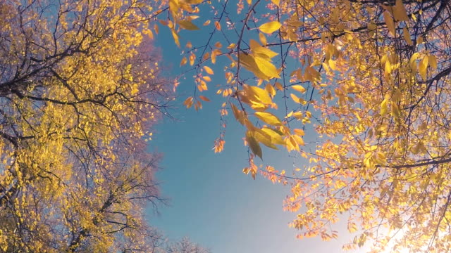 Yellow Autumn Leaves Slow Motion video