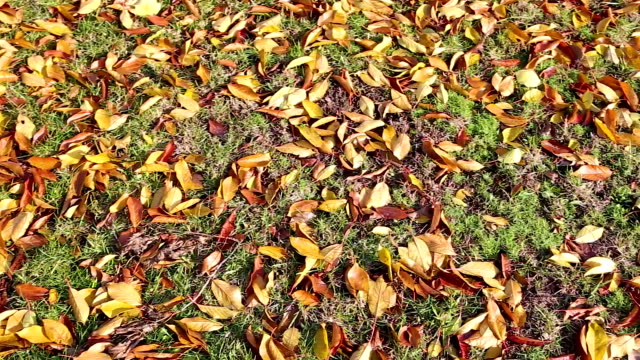 yellow autumn leaves video