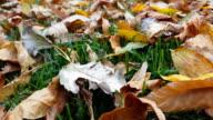 Yellow autumn tree leaves lying on beautiful green grass. video