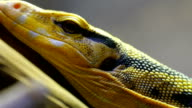 Yellow black spotted lizard on a tree branch video