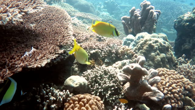 Yellow Butterfly Fishes video