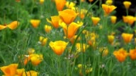 Yellow California Poppy video