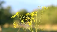 Yellow camomiles in the field video