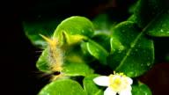 Yellow Caterpillar video