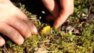 yellow chanterelle video