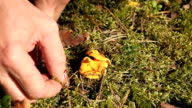 yellow chanterelles video