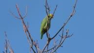 Yellow Cheek Parrot Drops Guano (HD) video