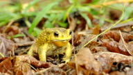 Yellow color toad eating bugs video