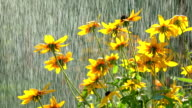 Yellow coneflowers and falling drops of water. FullHD video video