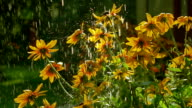 Yellow coneflowers and falling drops of water. Super slow motion video, 250 fps video