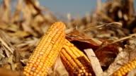 Yellow Corn in the Field video