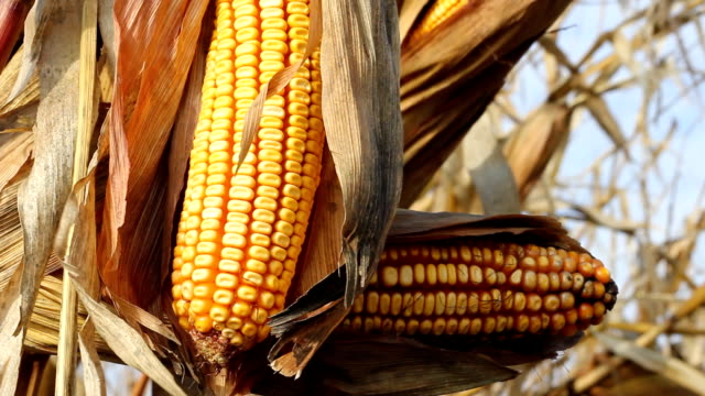 Yellow corn video