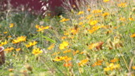 Yellow Cosmos flower video