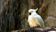 Yellow Crested Cockatoo on Wood in front of Waterfall video
