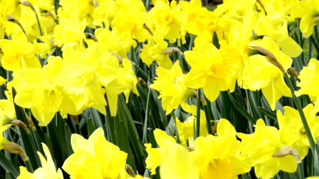 yellow daffodil blossom. springtime. video