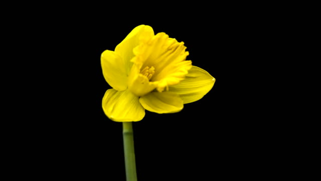 yellow daffodils open up their blossoms video